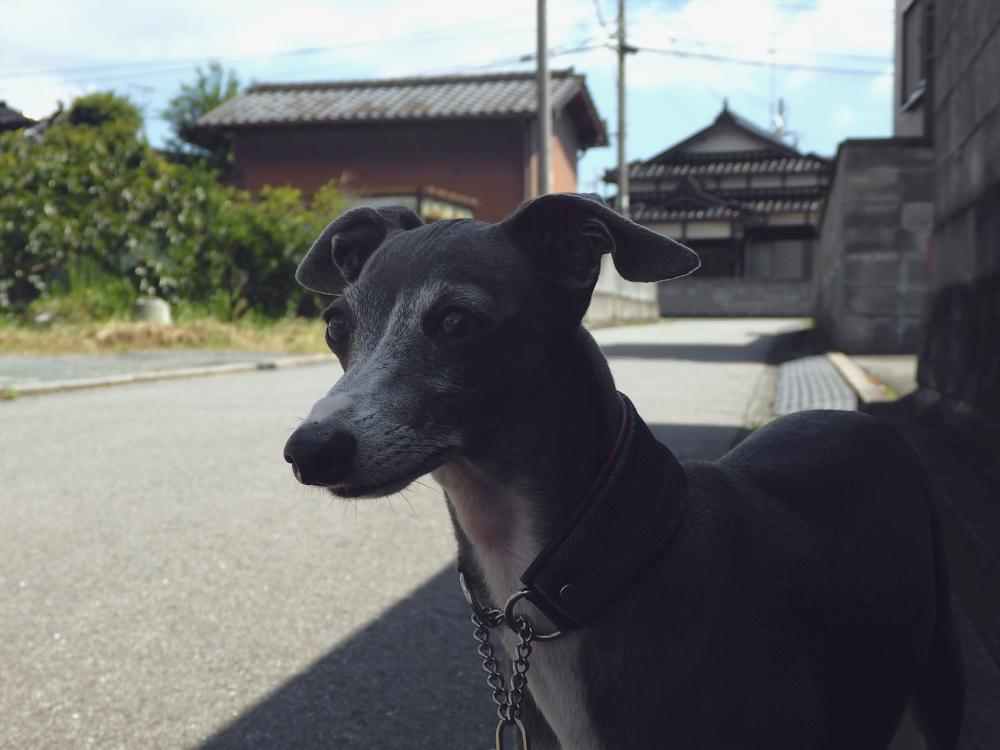 イタグレのダーコが山口県へ引っ越してきたある日の散歩。
