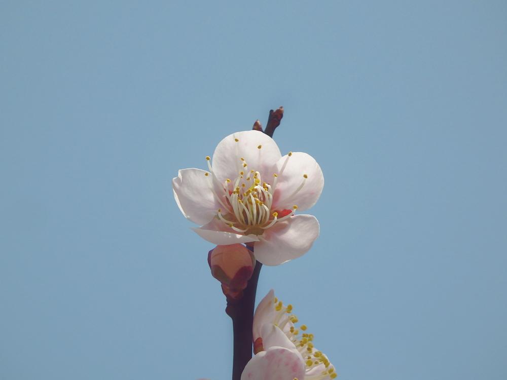 山口県の太華山の桜。