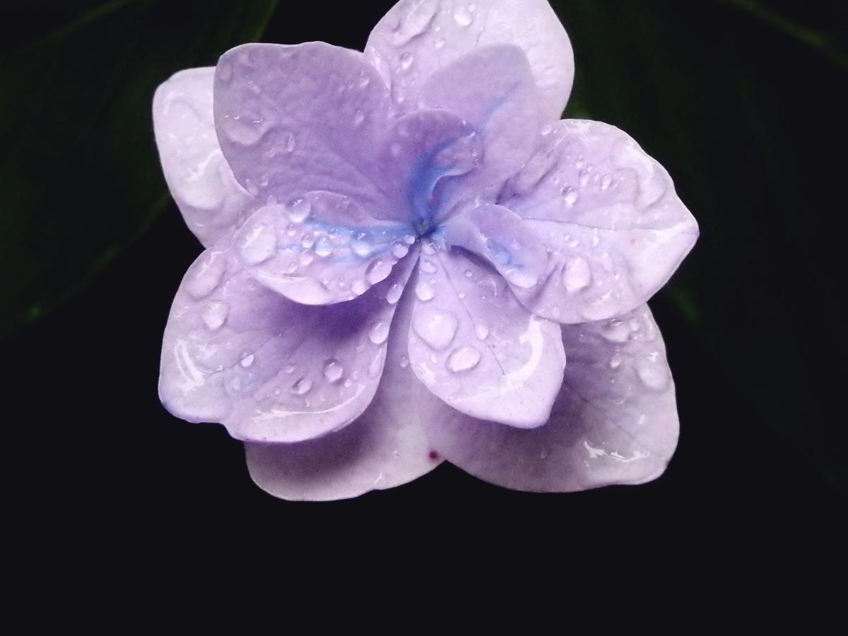 紫陽花(江汐公園/山口県)