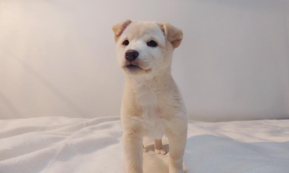 白い柴系の子犬。