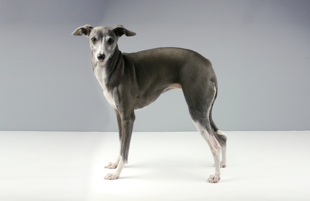 naked-italian-greyhound-in-winter-time