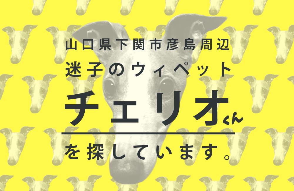 迷子ウィペット「チェリオ」を探しています。(山口県下関市彦島)