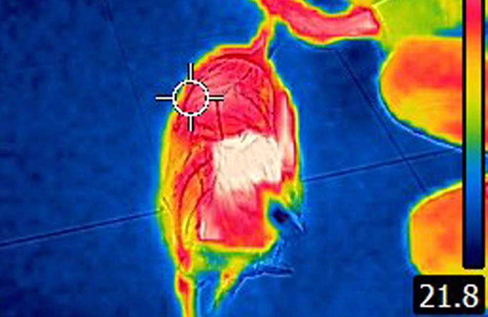 犬の体温:サーモグラフィー